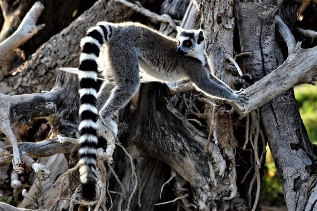 Comoros Islands Tourism -- Lemur